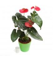 Red or orange Anthurium